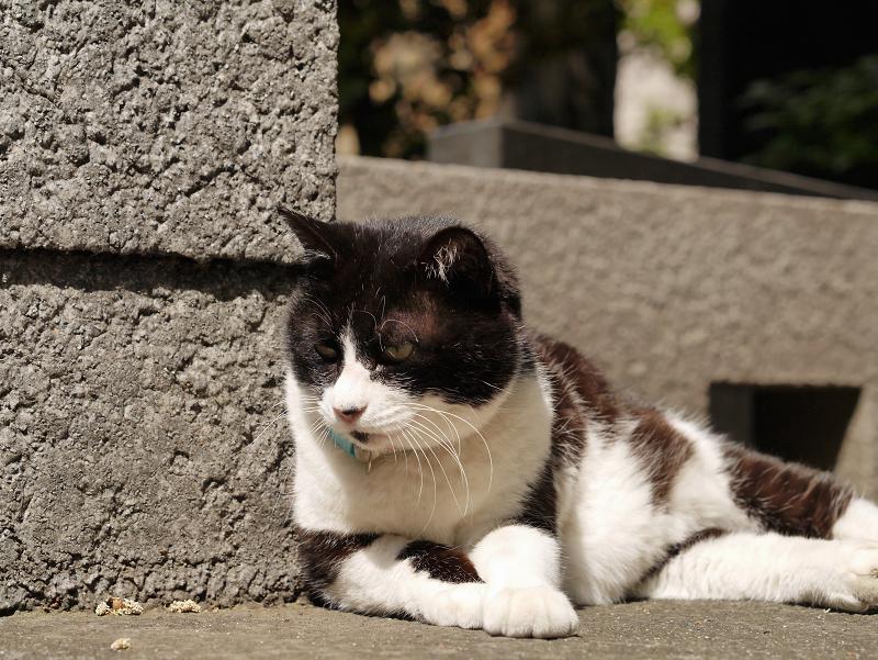 睨む黒白猫2