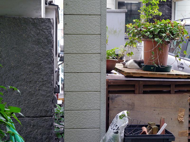 物置の白キジ猫1