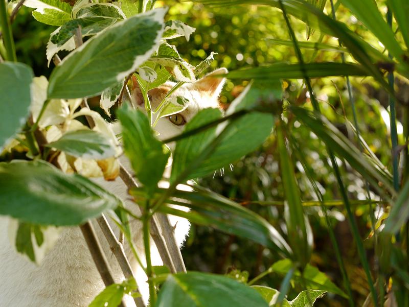 茂みに隠れて何かを見ている白茶猫