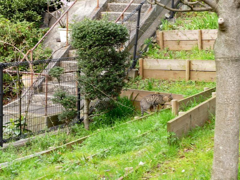 ギャップを飛び越えるキジトラ猫1