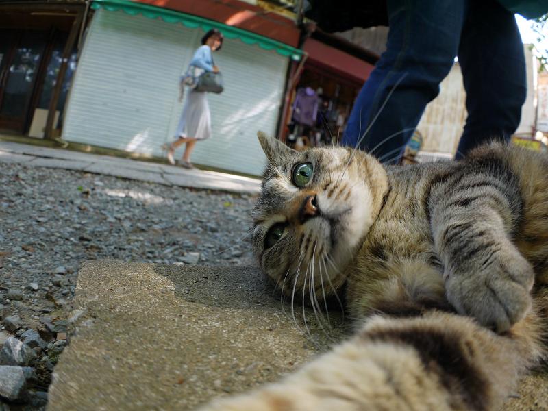 側溝の上で横になるキジトラ猫2