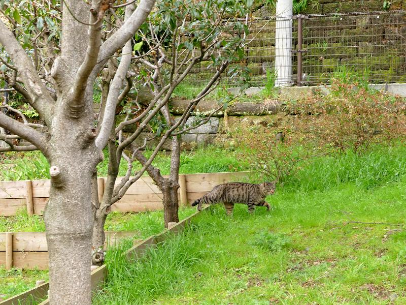 ギャップを飛び越えるキジトラ猫3
