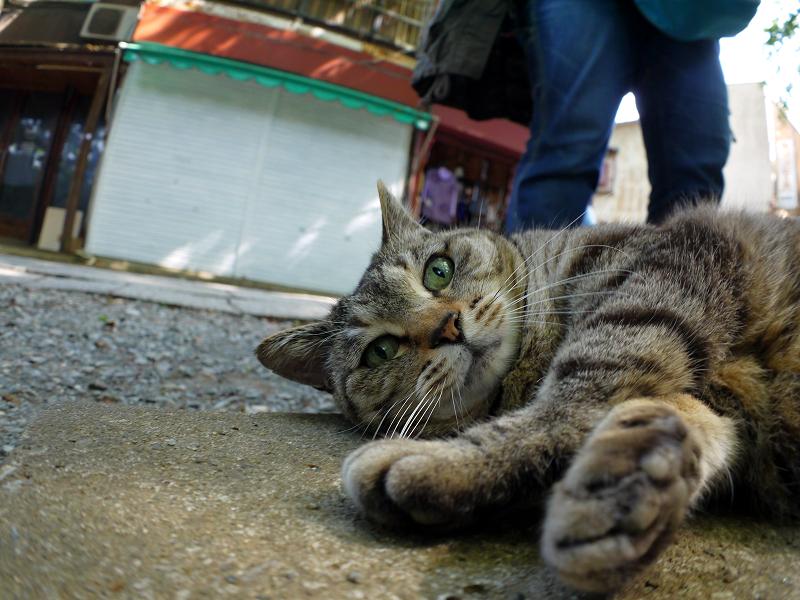 側溝の上で横になるキジトラ猫4