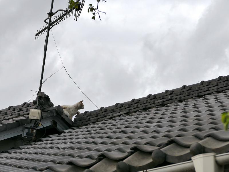 屋根の天辺を歩く白茶猫1
