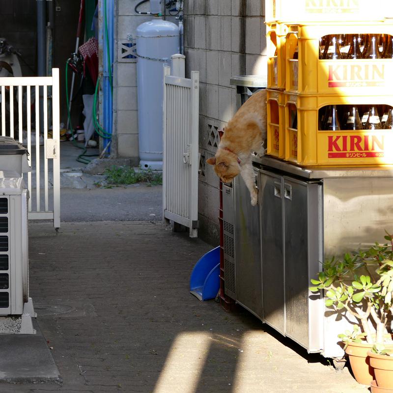 ブロック塀から降りてきた茶白猫1