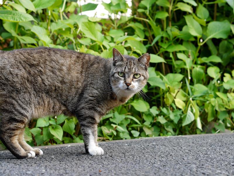 境内を歩くキジトラ猫2