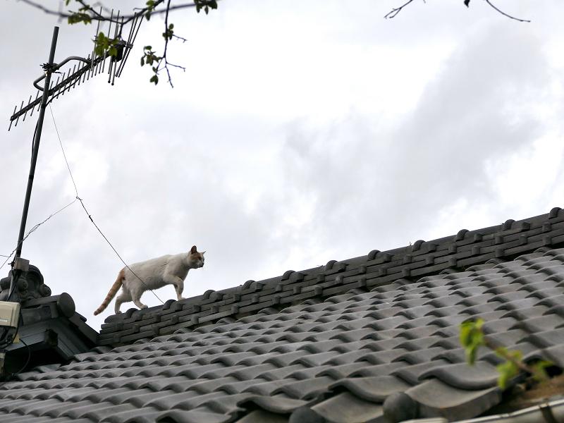 屋根の天辺を歩く白茶猫2