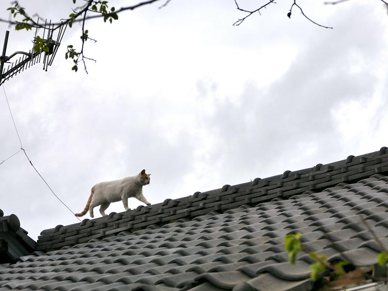 屋根の天辺を歩く白茶猫3
