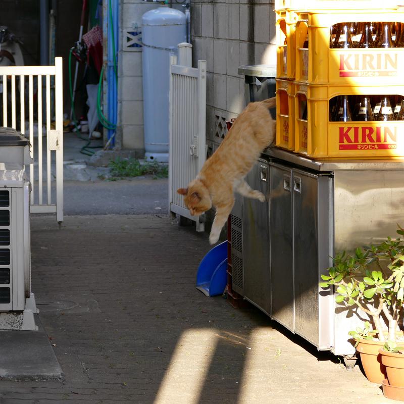 ブロック塀から降りてきた茶白猫3
