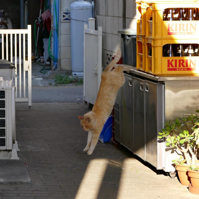 ブロック塀から降りてきた茶白猫4