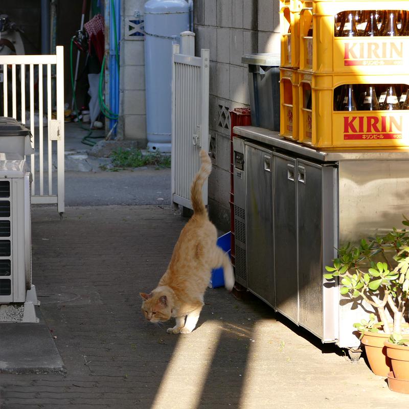 ブロック塀から降りてきた茶白猫5