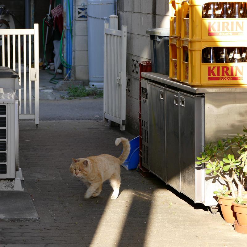 ブロック塀から降りてきた茶白猫6