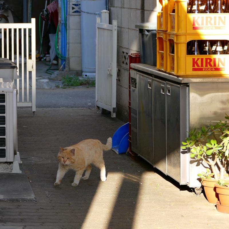 ブロック塀から降りてきた茶白猫7