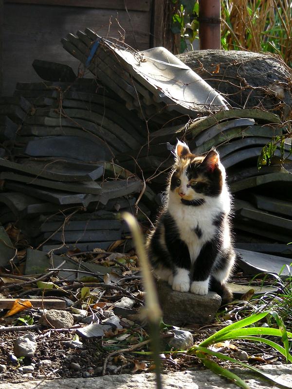 逆光の三毛仔猫1