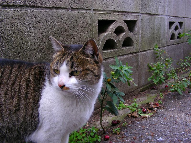 裏路地のキジ白猫1