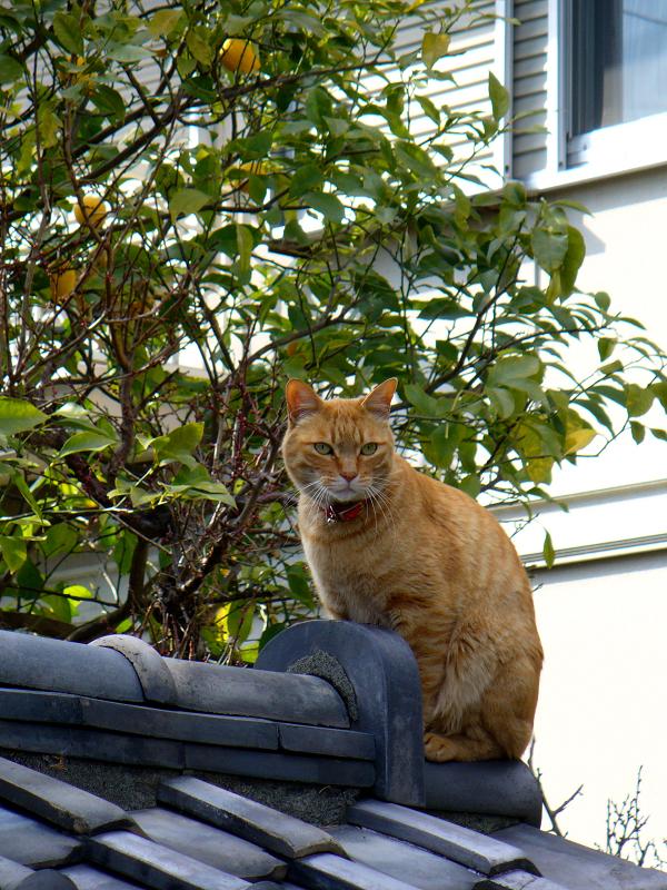 屋根瓦の上の茶白猫1