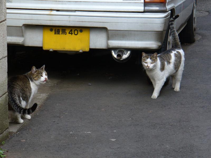 路地裏のキジ白猫1