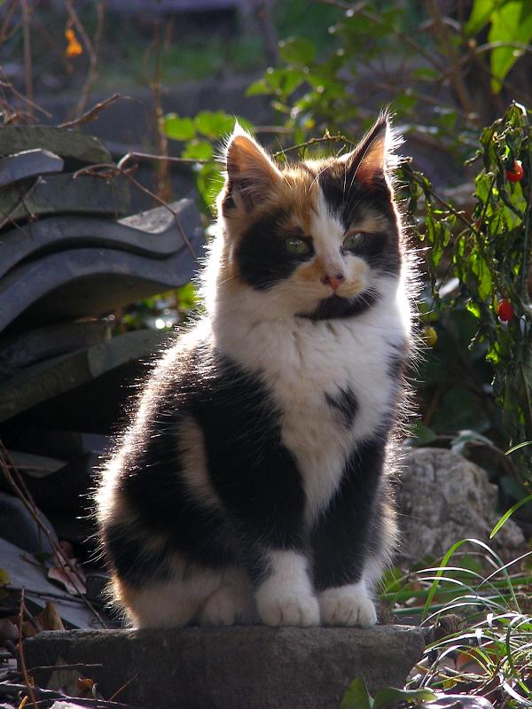 逆光の三毛仔猫2