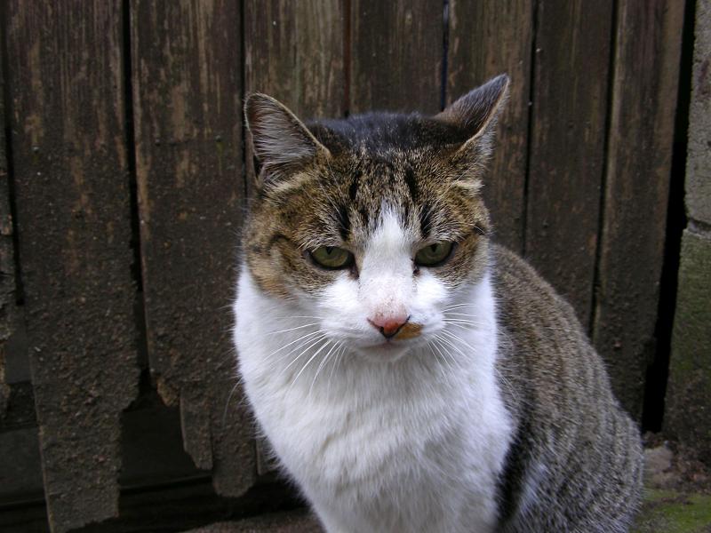 裏路地のキジ白猫2