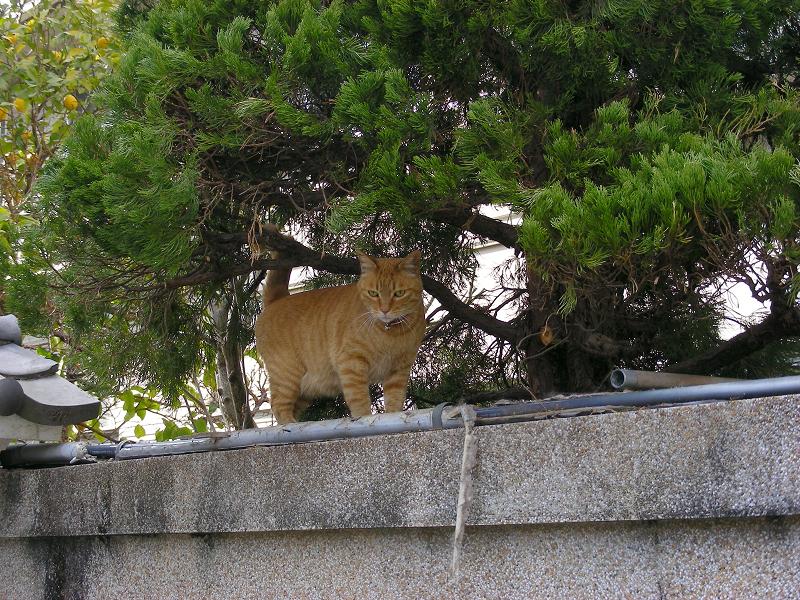 屋根瓦の上の茶白猫2