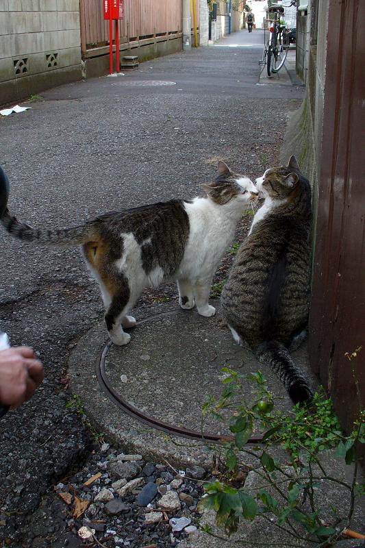 路地裏のキジ白猫2
