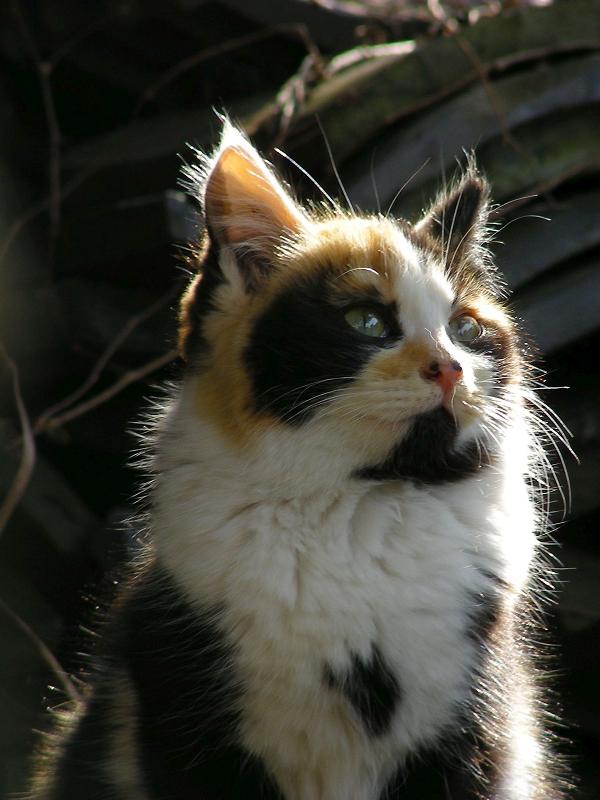 逆光の三毛仔猫3