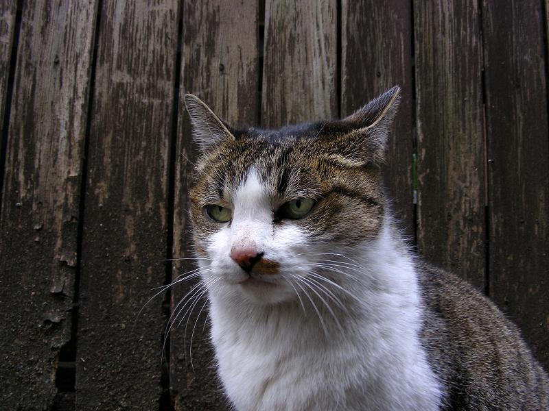 裏路地のキジ白猫3