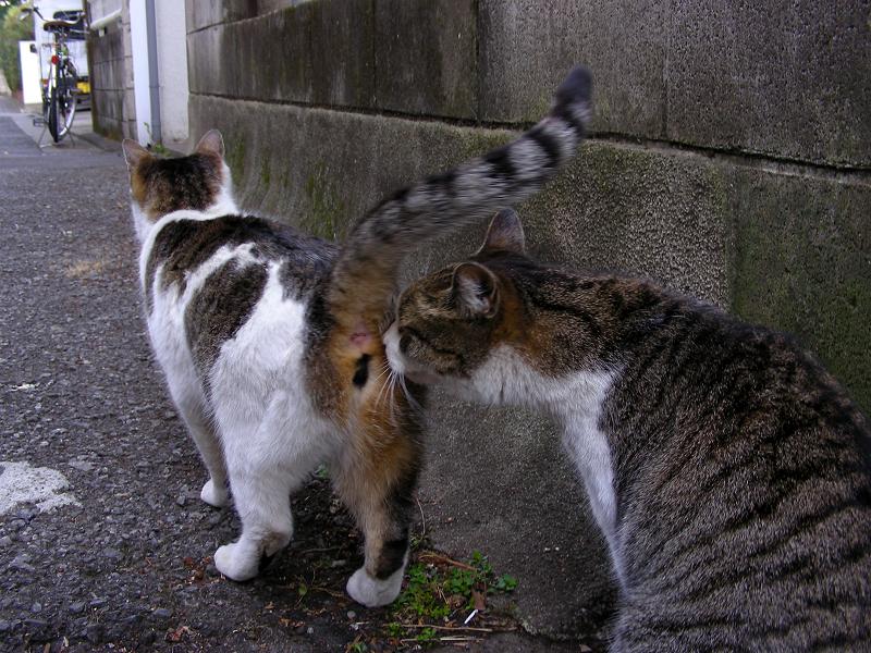 路地裏のキジ白猫3