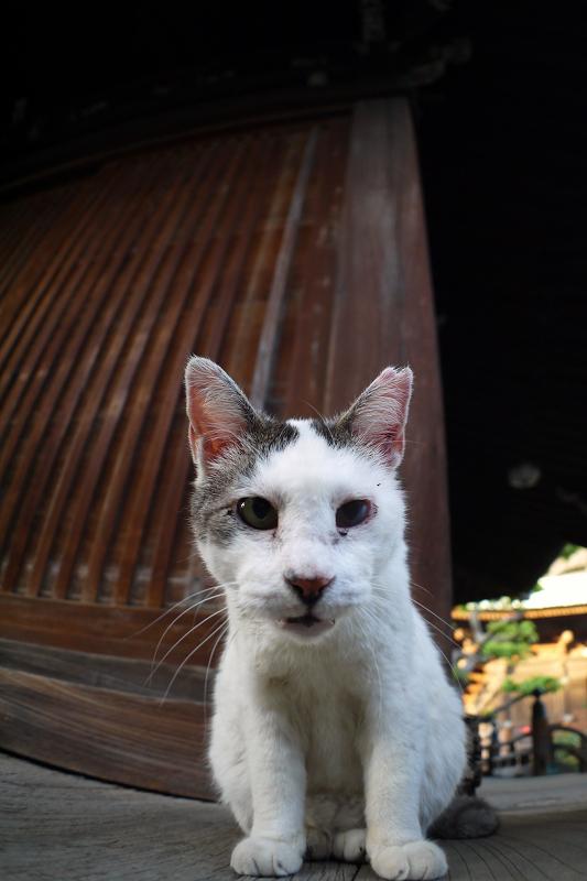 古堂濡れ縁の白キジ猫1