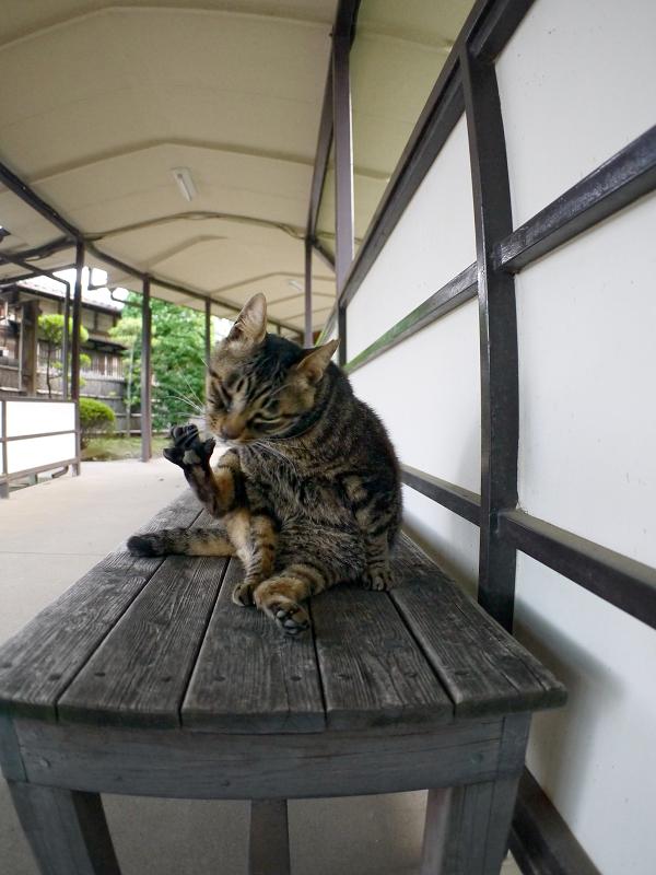 通路長椅子のキジトラ猫1