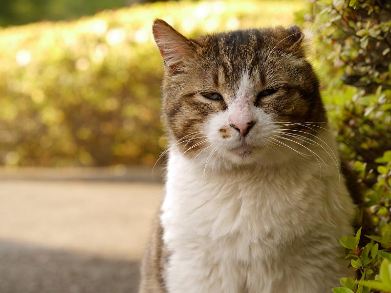 変化する顔のキジ白猫1