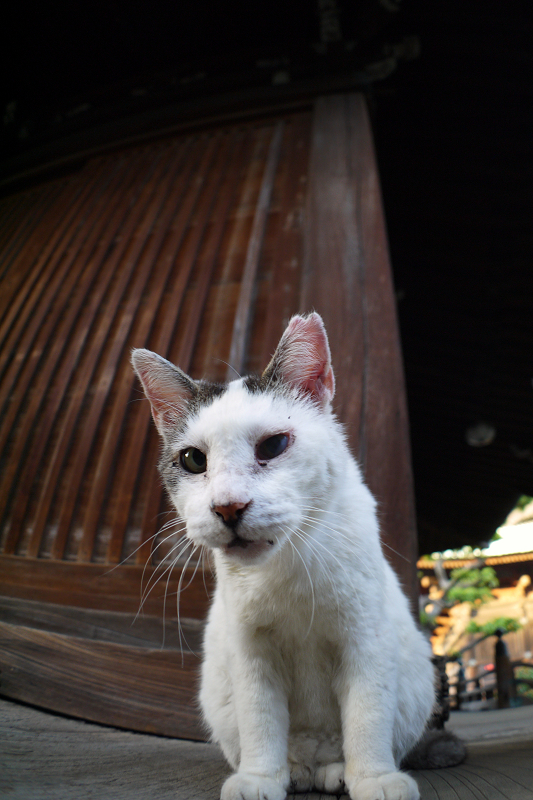 古堂濡れ縁の白キジ猫2