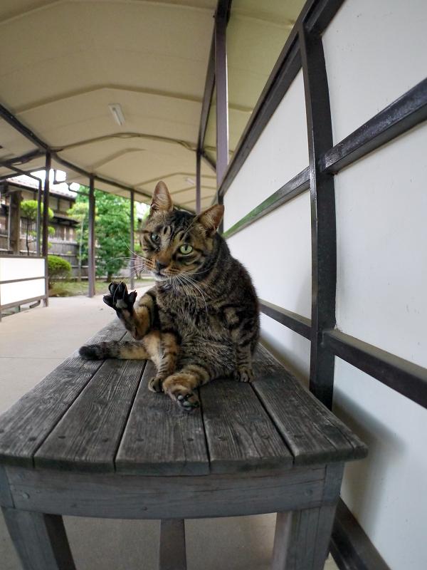 通路長椅子のキジトラ猫2