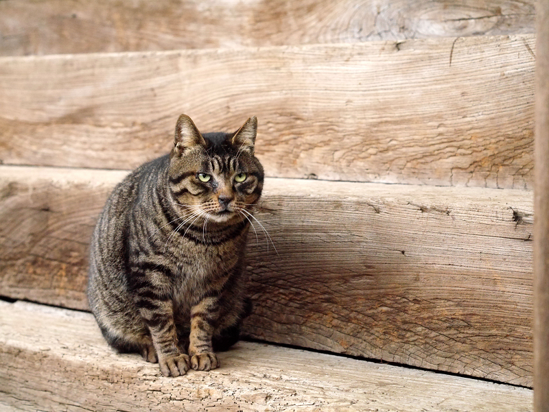 木製階段前のキジトラ猫2