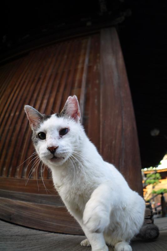 古堂濡れ縁の白キジ猫3