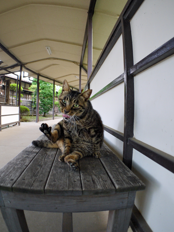 通路長椅子のキジトラ猫3