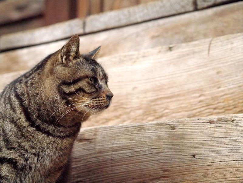 木製階段前のキジトラ猫3