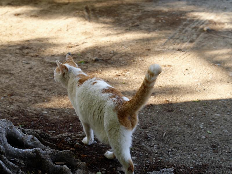 尻尾立てて歩く白茶猫1