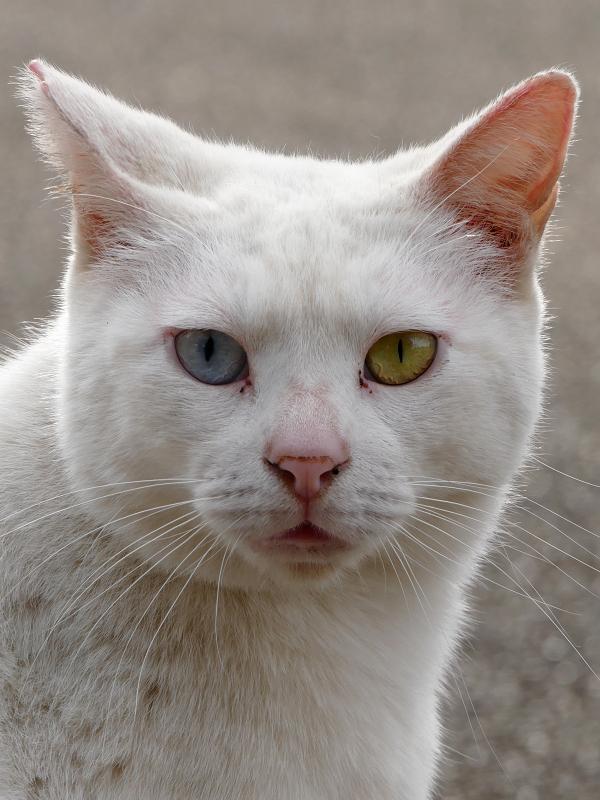 白猫オッド・アイのポートレイト1