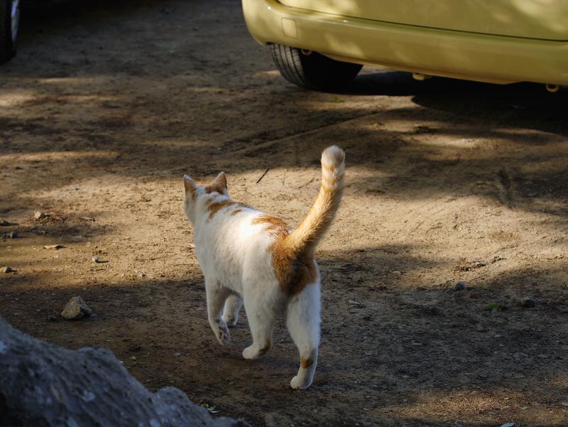 尻尾立てて歩く白茶猫2