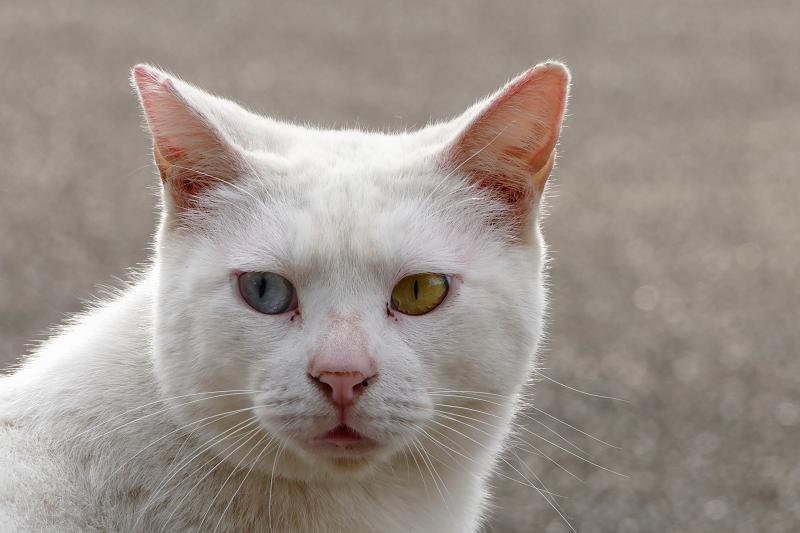 白猫オッド・アイのポートレイト2