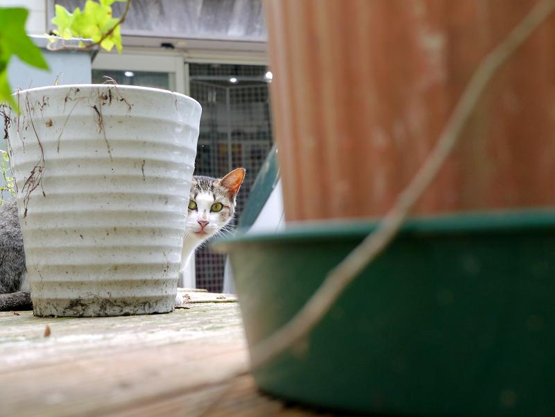 物置上のキジ白猫3