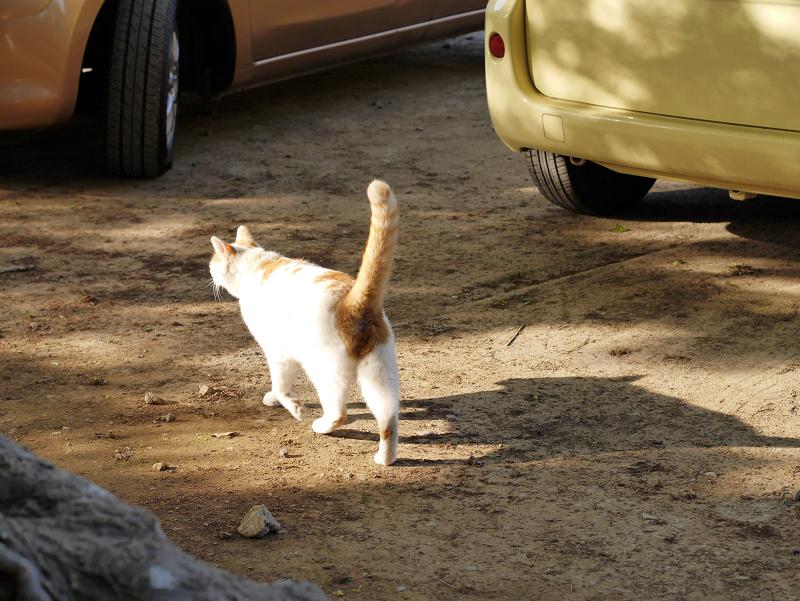 尻尾立てて歩く白茶猫3