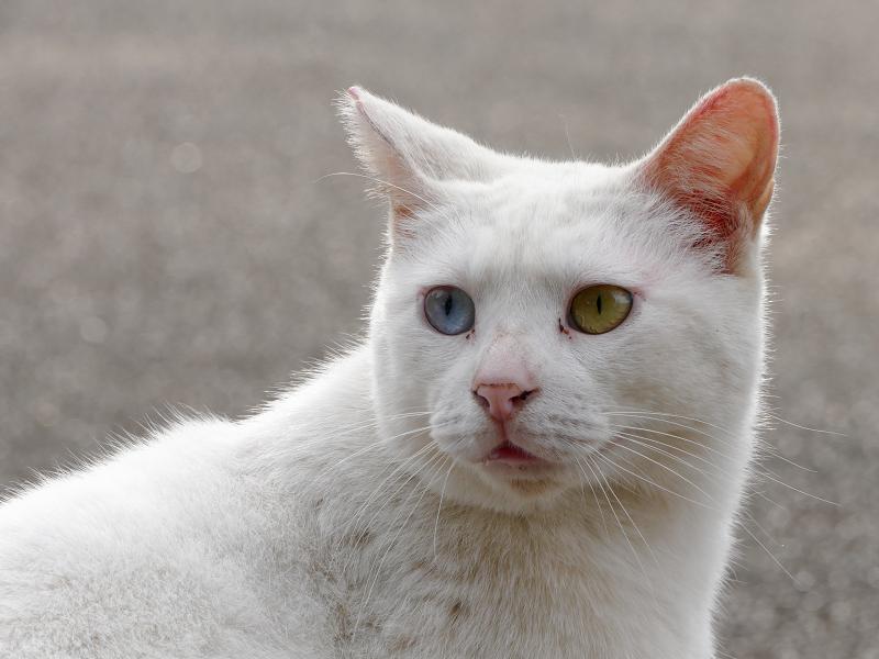 白猫オッド・アイのポートレイト3