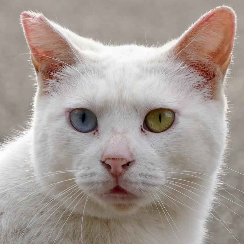 白猫オッド・アイのポートレイト4