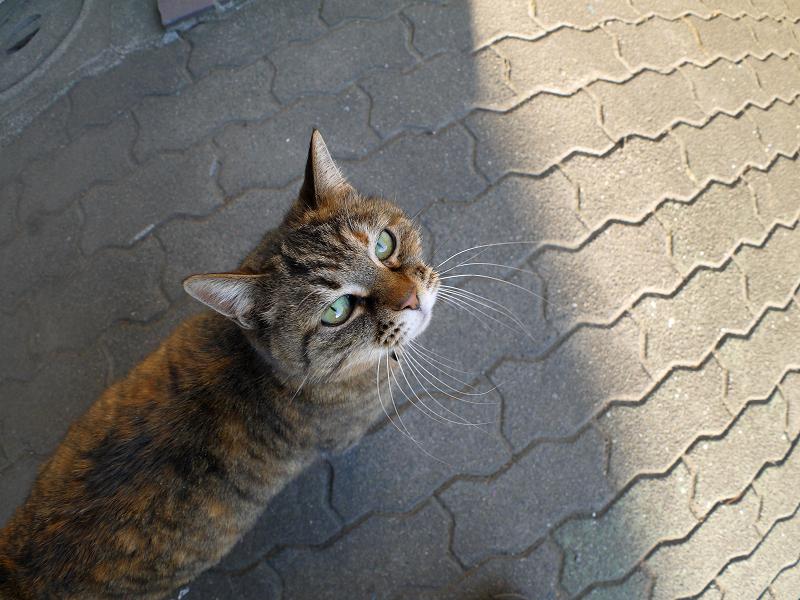 カメラを見上げるキジトラ猫1