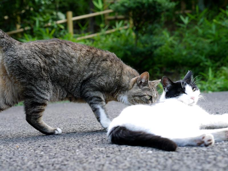 神社境内のキジトラ猫と白黒猫1