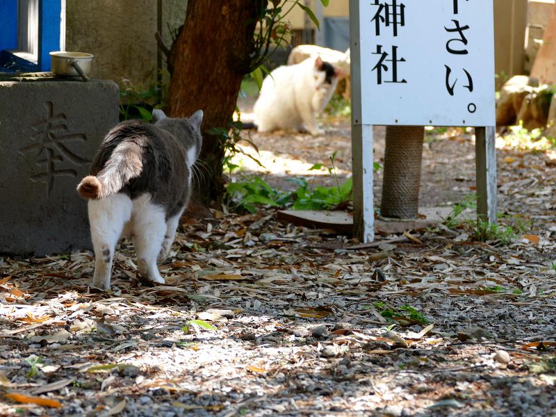 神域のグレー白猫1