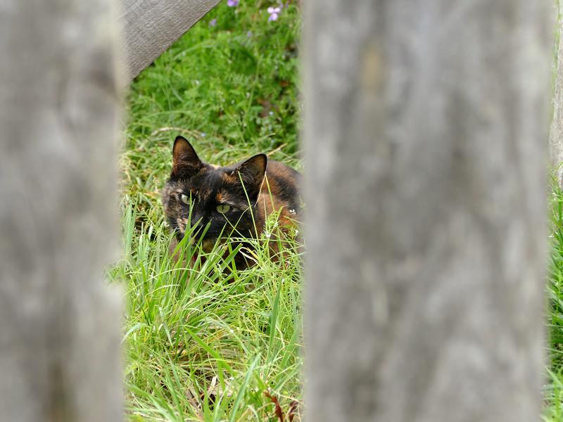 柵越しのサビ柄猫2