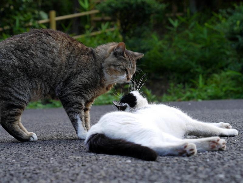 神社境内のキジトラ猫と白黒猫2